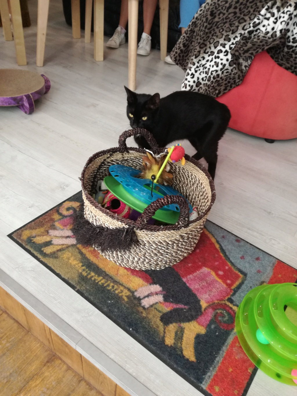 LYVIO chat europeen noir né en juillet 2015 65865810