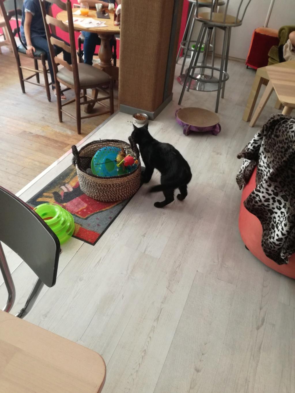 LYVIO chat europeen noir né en juillet 2015 65906710