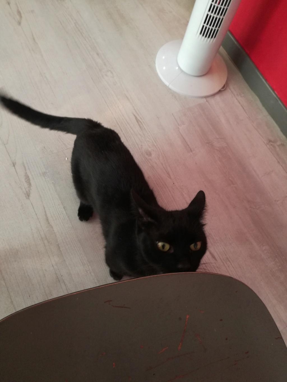 LYVIO chat europeen noir né en juillet 2015 65960810