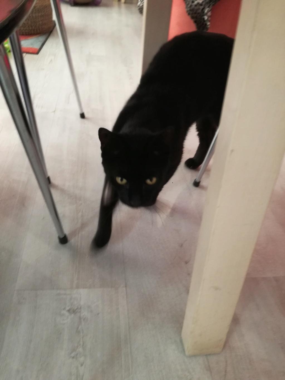 LYVIO chat europeen noir né en juillet 2015 66686210