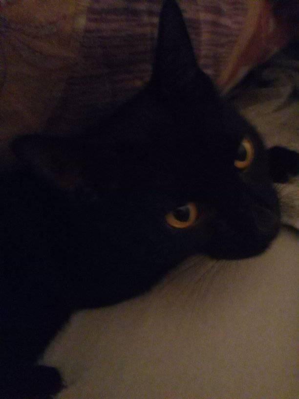 LYVIO chat europeen noir né en juillet 2015 68798810