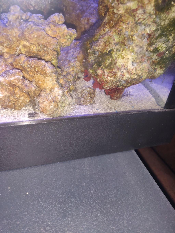 algues rouge sur pierres vivante  49385011
