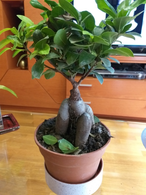 SOS Ficus 20190612