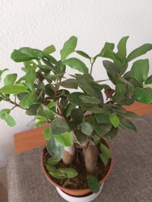 SOS Ficus 20190613