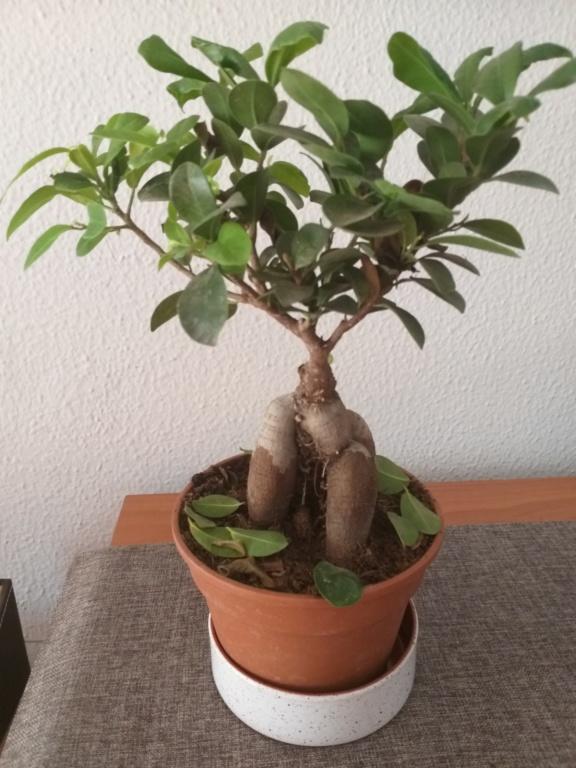 SOS Ficus 20190614