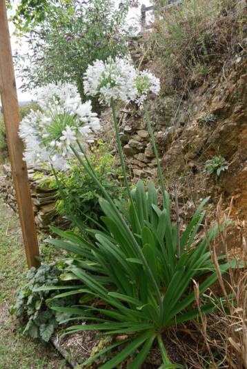 Agapanthus praecox subsp.orientalis 'Queen Mum' Agapan12