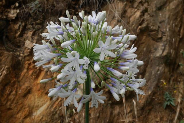 Agapanthus praecox subsp.orientalis 'Queen Mum' Agapan13
