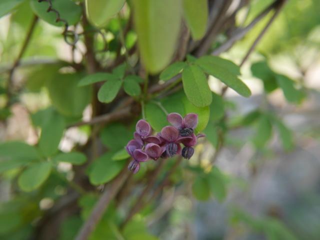Akebia quinata - liane ou vigne chocolat - Page 2 Akebia12