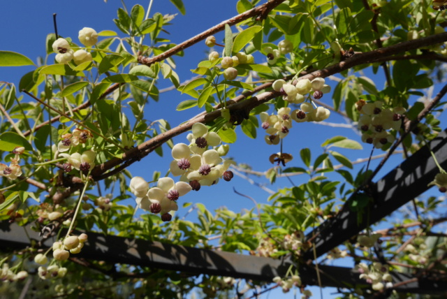 Akebia quinata - liane ou vigne chocolat - Page 2 Akebia13