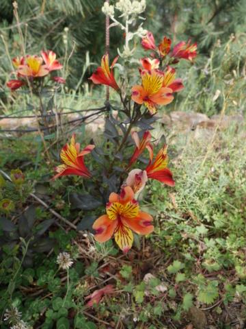 Alstroemeria ' Indian Summer' Alstro11