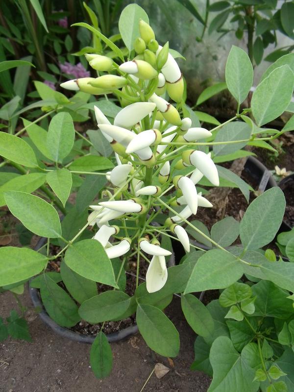 Erythrina crista-galli leucochlora Anselm10