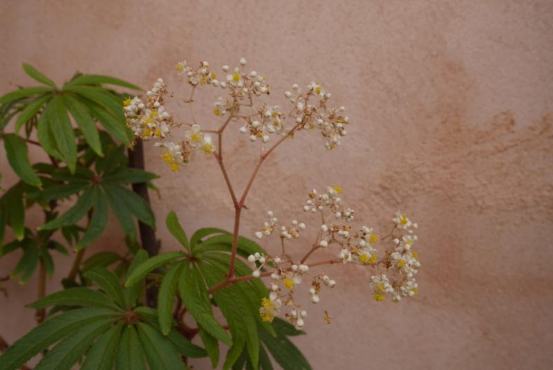 Begonia luxurians  Begoni10