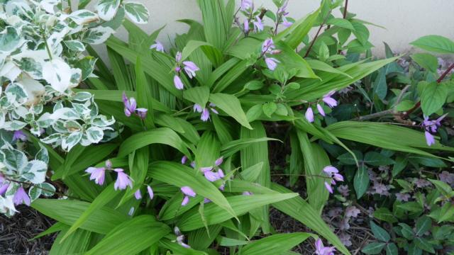 Bletilla striata - orchidée du Japon - Page 5 Bletil12