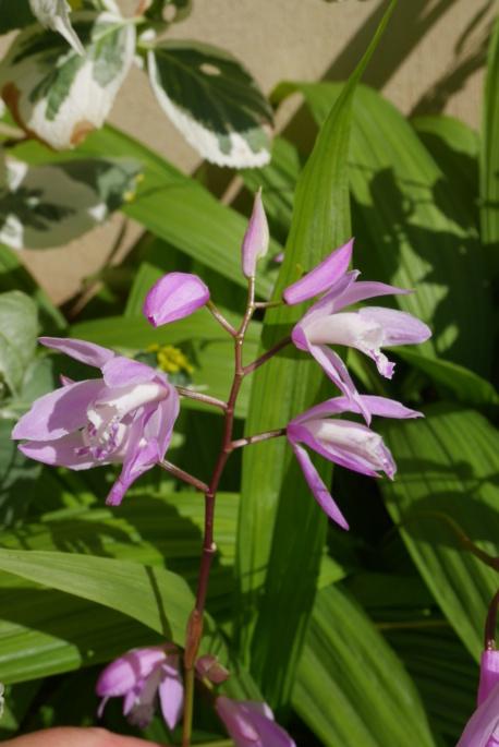 Bletilla striata - orchidée du Japon - Page 5 Bletil14