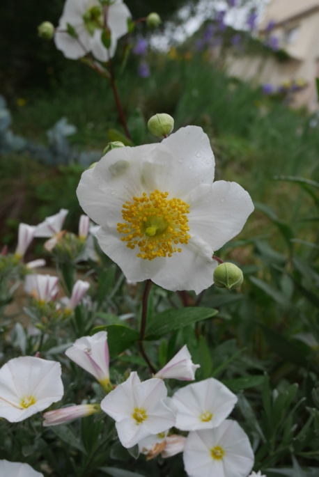 Carpenteria californica Carpen10
