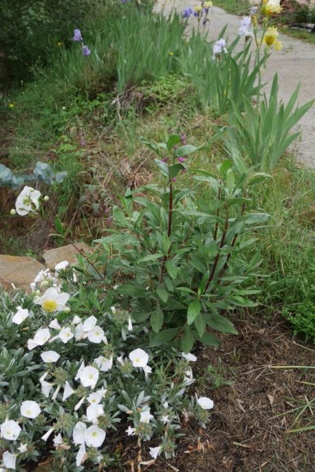 Carpenteria californica Carpen11