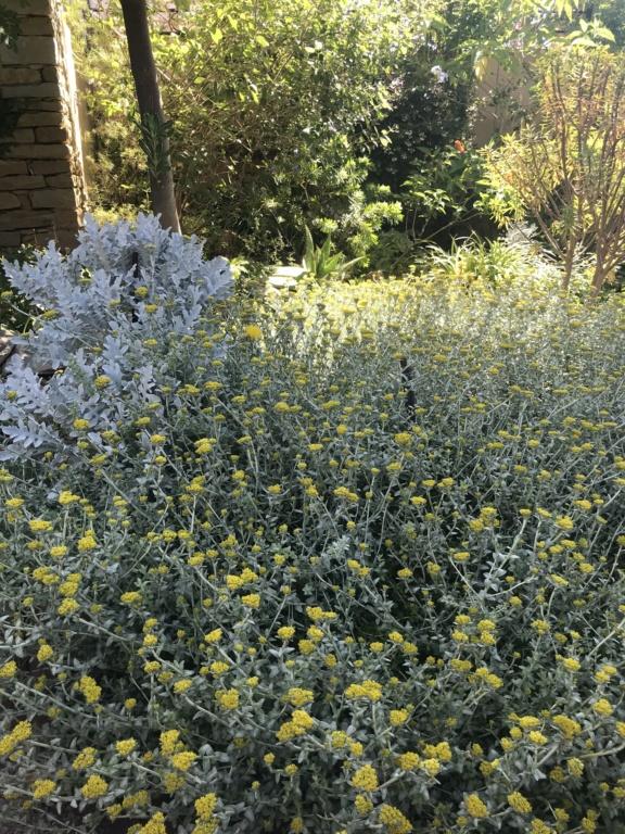 Helichrysum cymosum Claire11