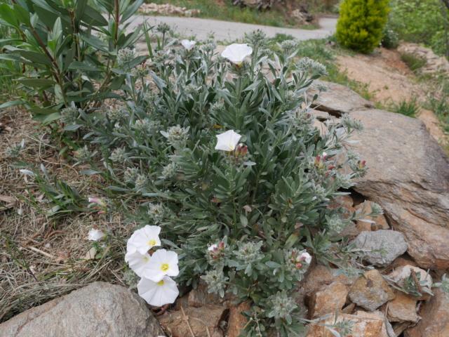 Convolvulus cneorum - liseron de Turquie Convol10