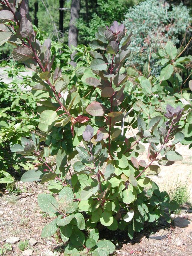 Cotinus coggygria Cotinu10