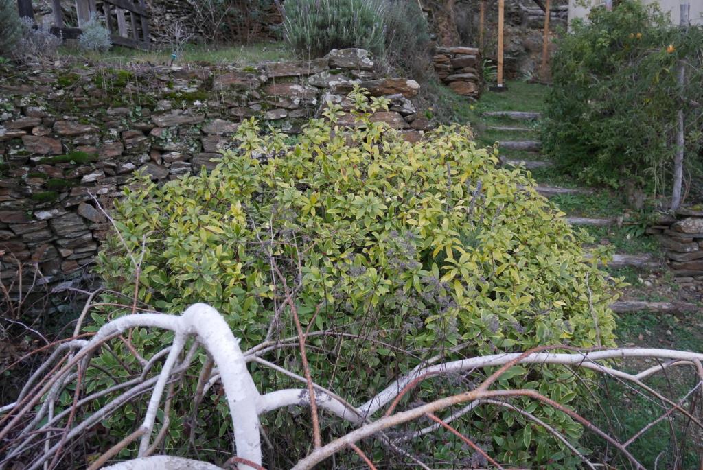 Daphne odora 'Aureomarginata' - Page 3 Daphne11