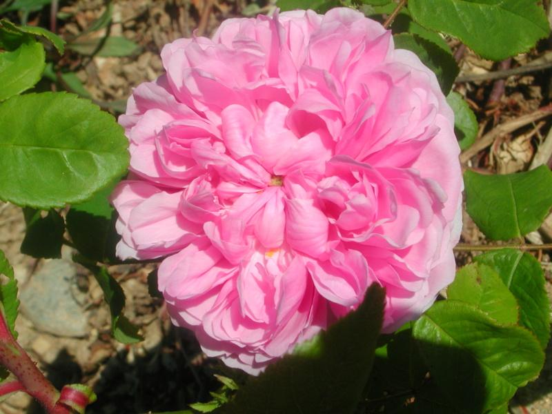 Les rosiers  parfumés Dscn4210