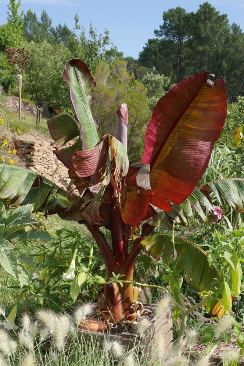 Bananiers résistant au vent Ensete10