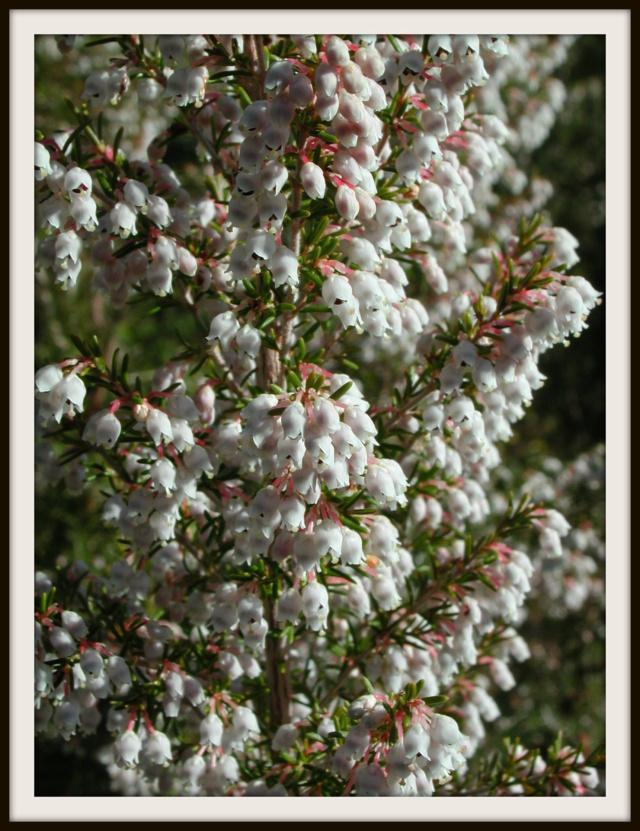 Erica arborea Erica_11