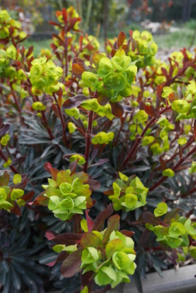 Euphorbia amygdaloides - Page 2 Euphor11