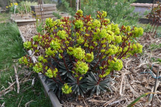 Euphorbia amygdaloides - Page 2 Euphor12