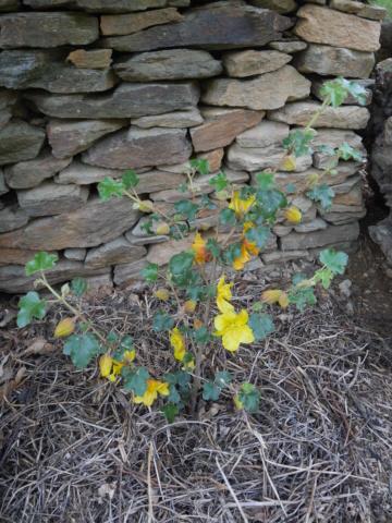 Fremontodendron californicum - Page 2 Fremon10