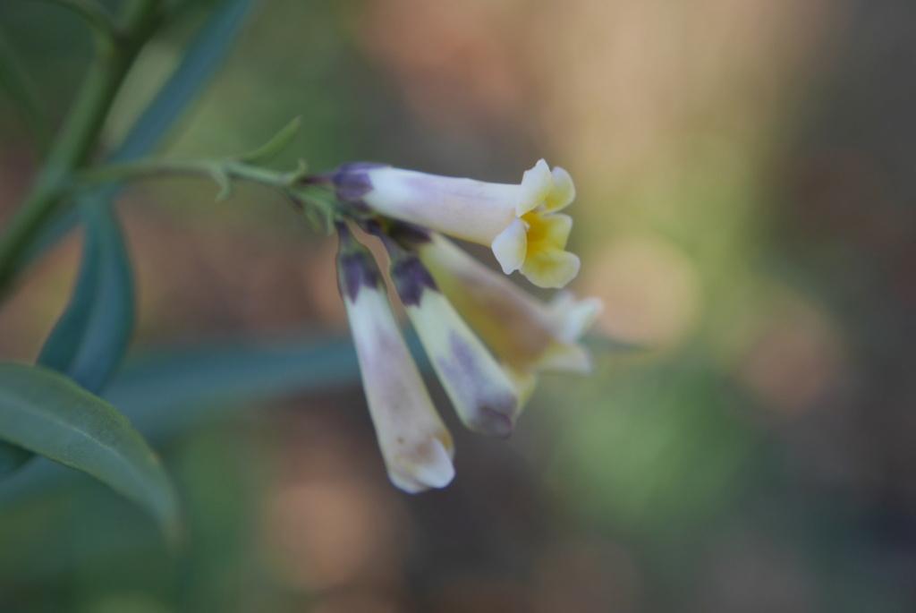 Freylinia lanceolata - Page 3 Freyli10