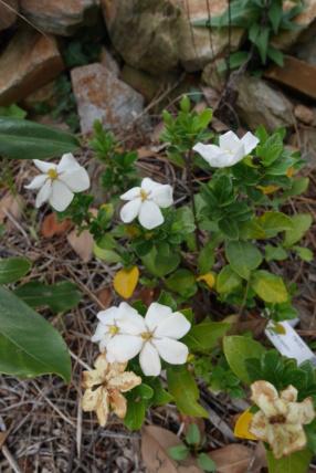 Gardenia jasminoides 'Kleim's Hardy' - Page 3 Garden10