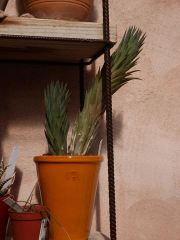 Haworthia glauca Hawort10