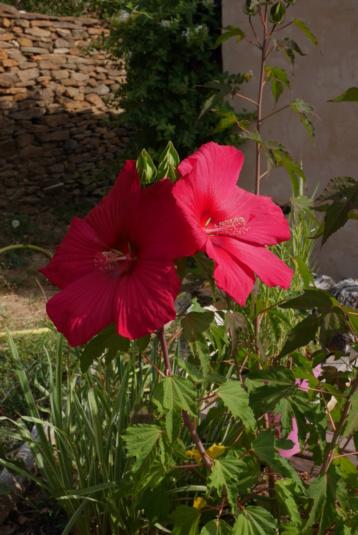 Hibiscus moscheutos - Page 4 Hibisc10