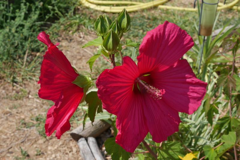 Hibiscus moscheutos - Page 4 Hibisc12