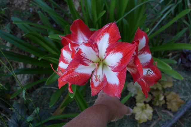 Hippeastrum hybrides - Page 5 Hippea10
