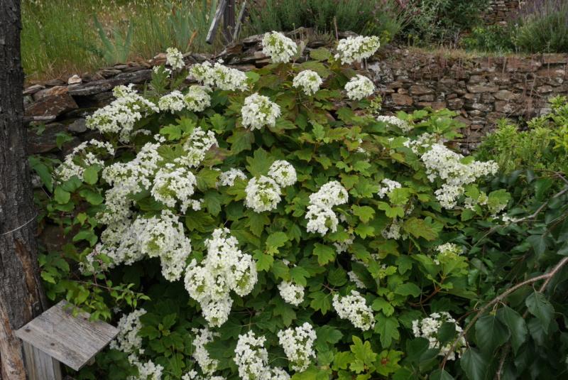 Hydrangea quercifolia Hydran11