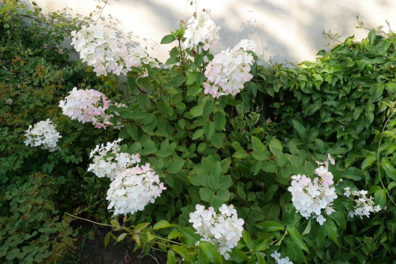 Hydrangea paniculata Hydran14