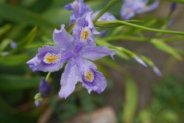 Iris confusa  - Page 4 Iris_c11