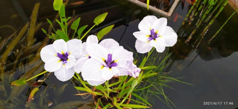 Iris ensata (= Iris kaempferi) - iris du Japon - Page 2 Iris_e10