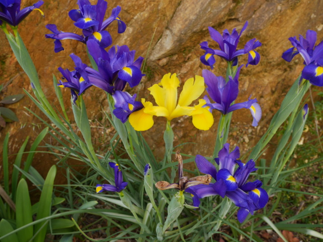 Onze, dix, neuf, .... tous au jardin !! Iris_h11