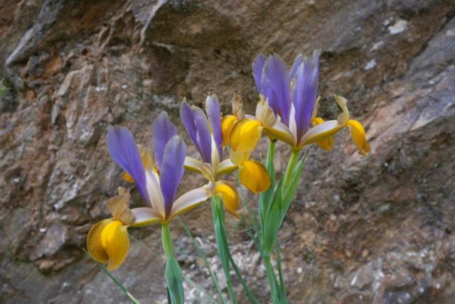 Iris hollandica Iris_h12