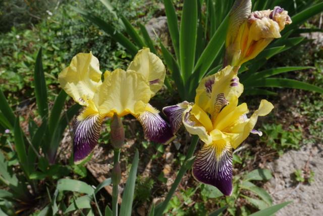 Iris 'Loreley' - Goos et Koenemann 1909 Iris_i10