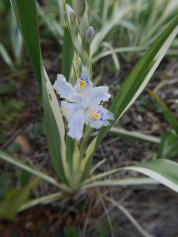 Ça bouge au jardin - Page 2 Iris_j10