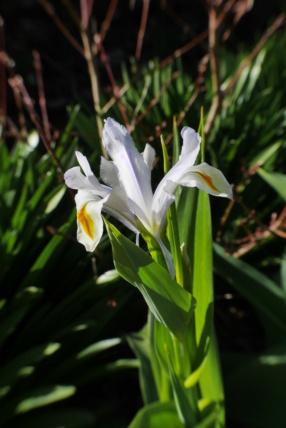 Iris magnifica Iris_m11