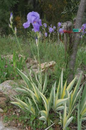Iris pallida - groupe pallida - Page 2 Iris_p11
