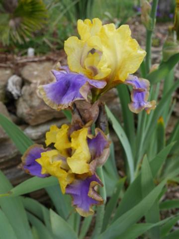 Iris 'Tumultueux' - Cayeux 1995 Iris_t17