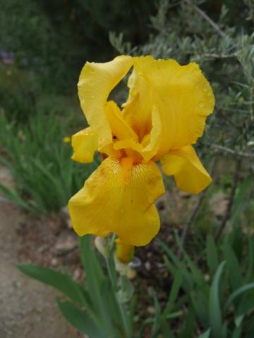 Iris 'Zantha' - O. Fay 1947 Iris_t20