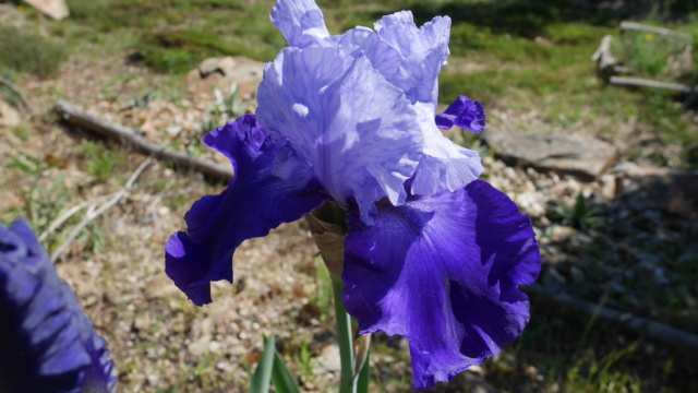 Iris 'Proud Tradition' - Schreiner 1990 Iris_t21