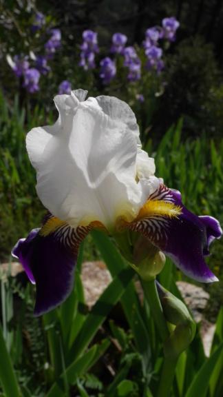Iris 'Wabash' - Williamson 1936 Iris_t24